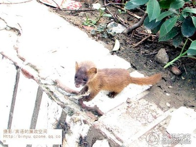 anhui-china-sad-tale-of-two-weasels-04