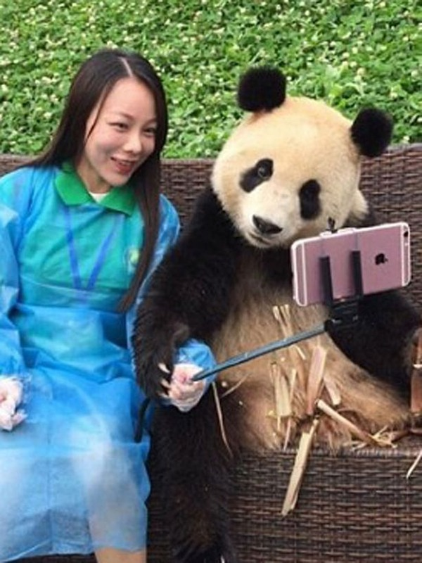 Clever-giant-panda-knows-how-to-pose-for-selfies-with-tourist